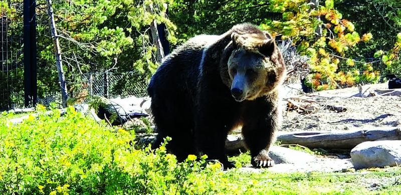 About 700 grizzly bears live in the Yellowstone ecosystem. Bears have been known to prey on livestock. (K. Moen)