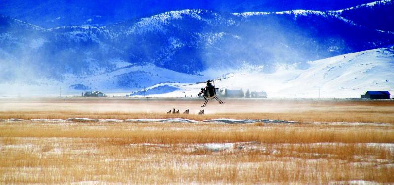 A FWP helicopter crew maneuvers a catch team into position to net pronghorns for the study (Kit Fisher, NWF photos)