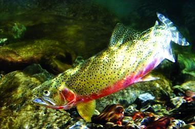Another look at westslope cutthroat trout in their natural environment.