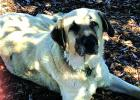 Duchess, a six-year-old Anatolian Shepherd-Great Pyrenees mix, traveled nearly 20 miles when the Monument fire blew up in early August. Nearly three weeks later, she was reunited with her family. (Debi Reynolds)