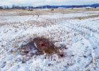 The white-tailed buck, poached near Four Corners Nov. 30, dead and wasted. Photos provided by Montana Fish, Wildlife & Parks