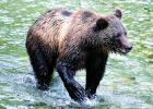 A grizzly bear (File)