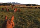 Endecott's cow-calf operation outside of McAllister. PHOTO COURTESY OF RACHEL ENDECOTT